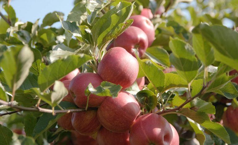 ZD Senice ovocné sady Vilémov jablka