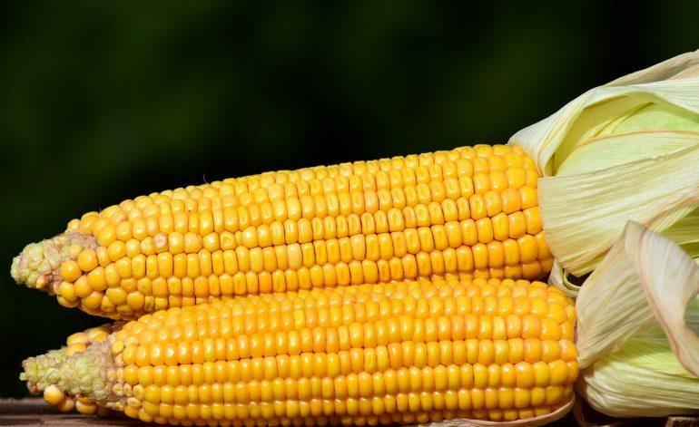 ZD Senice polní výroba kukuřice